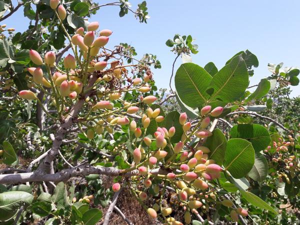 Pistazienfrucht