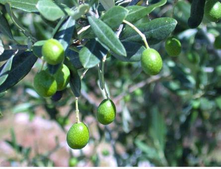 Nocellara Olive